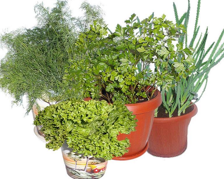 Выращивание зелени на подоконнике. секреты успеха домашнего .